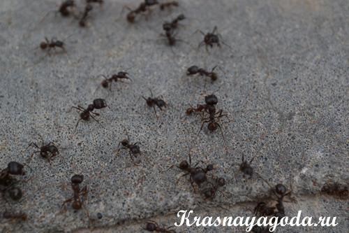 муравьи фото